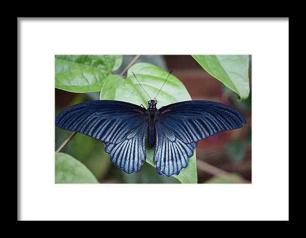 Butterfly Framed Print featuring the photograph Butterfly 2 by Tina McKay-Brown