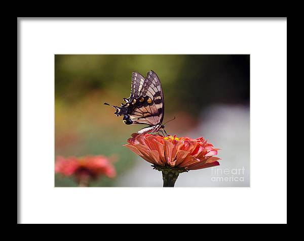 Butterfly Framed Print featuring the photograph Butterfly And Orange Zinnia by Terri Winkler