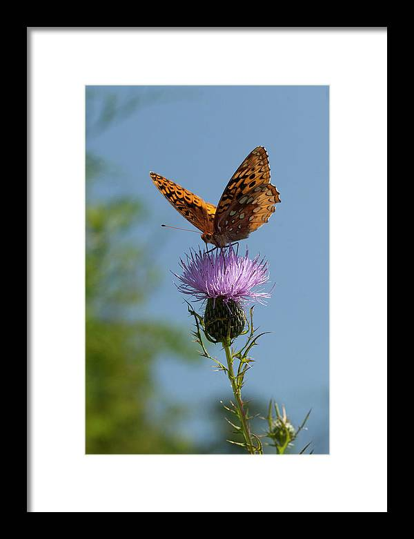 Butterfly Framed Print featuring the photograph Butterfly And Thistle 1 by Art Ferrier