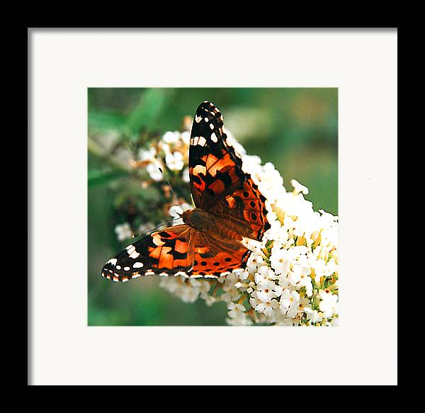 Butterfly Framed Print featuring the photograph Butterfly Bush by Paul Trunk