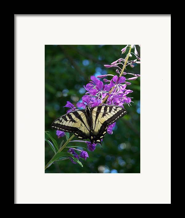 Butterfly Framed Print featuring the photograph Butterfly by Gene Ritchhart