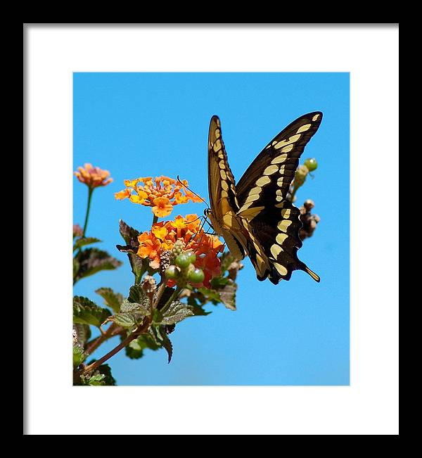 Butterfly Framed Print featuring the photograph Butterfly IIi by Susan Heller