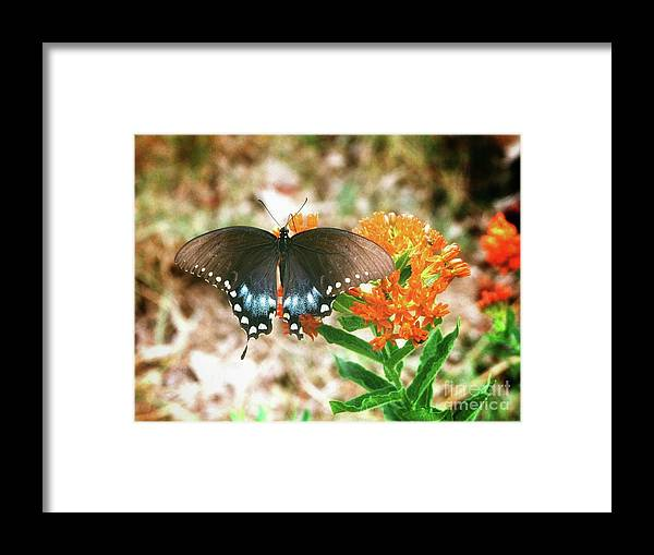 Black Butterfly On Weed Plant Framed Print featuring the photograph Butterfly by John Myers