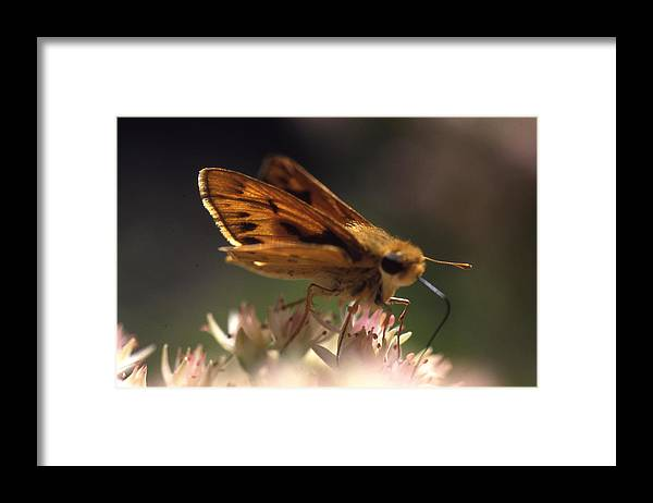 Framed Print featuring the photograph Butterfly-lick by Curtis J Neeley Jr