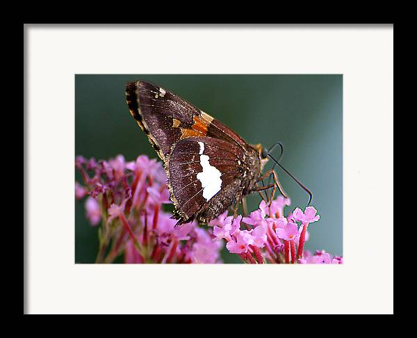 Framed Print featuring the photograph Butterfly-licking by Curtis J Neeley Jr