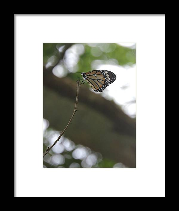 Butterfly Framed Print featuring the photograph Butterfly by Nylica Art
