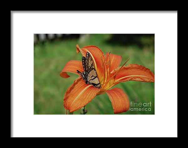 Lily Framed Print featuring the photograph Butterfly On A Blooming Orange Daylily Flower Blossom by DejaVu Designs