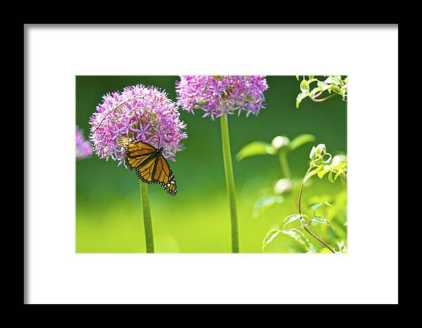 Butterfly Framed Print featuring the photograph Butterfly On Flower by Rawimage Photography