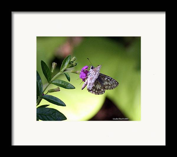 Insect Framed Print featuring the photograph Butterfly On Heather by Linda Ebarb