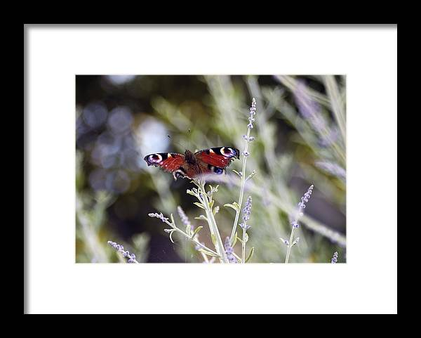 Photo Framed Print featuring the photograph Butterfly On Lavender by Mirinda Kossoff
