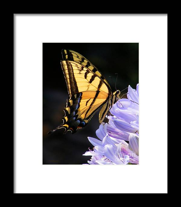 Butterfly Framed Print featuring the photograph Butterfly On Lilly by Gail Salitui