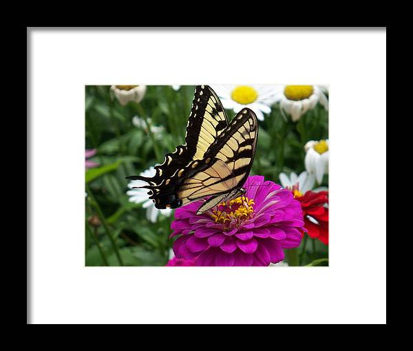 Butterfly Photos Framed Print featuring the photograph Butterfly On Zennia by Ellen B Pate