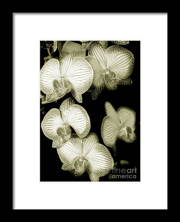 Nature Framed Print featuring the photograph Butterfly-orchids by Son Of the Moon