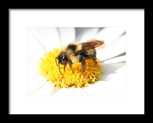 Bumble Bee Framed Print featuring the photograph Buzz by Jason Hochman