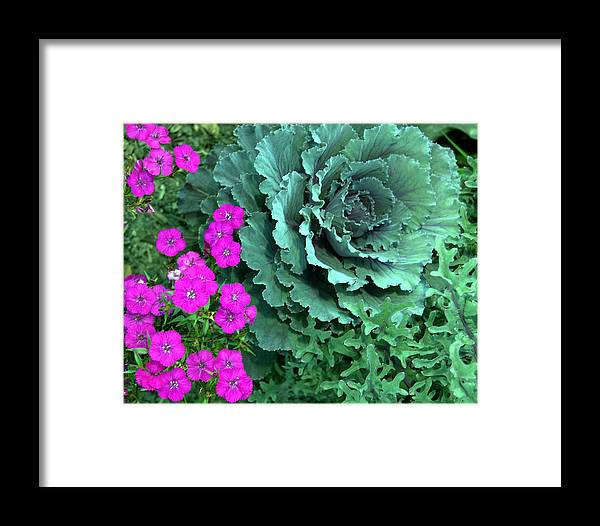 Flowers Framed Print featuring the photograph Cabbage And Vinca by Heather S Huston