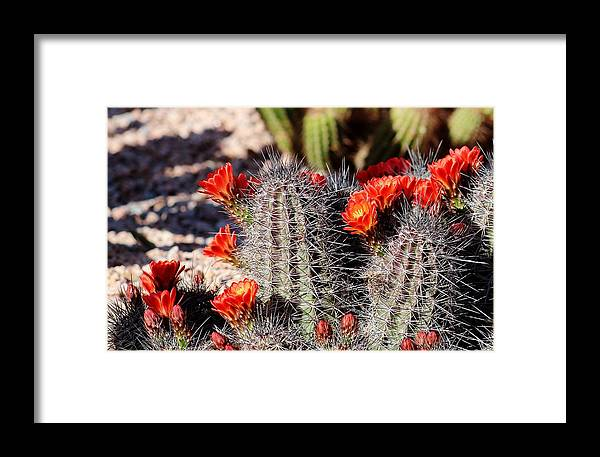 Flora Framed Print featuring the photograph Cactus Bloom 033114f by Edward Dobosh