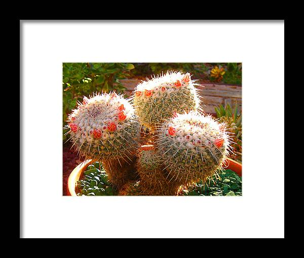 Landscape Framed Print featuring the photograph Cactus Buds by Amy Vangsgard