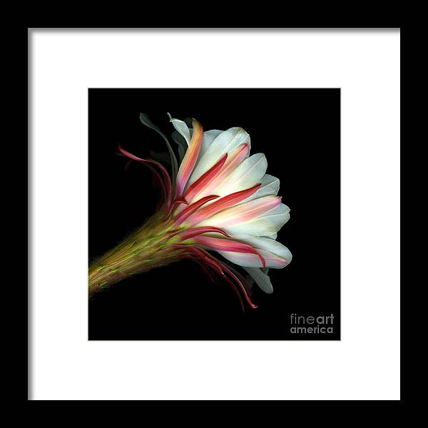 Scanart Framed Print featuring the photograph Cactus Flower by Christian Slanec