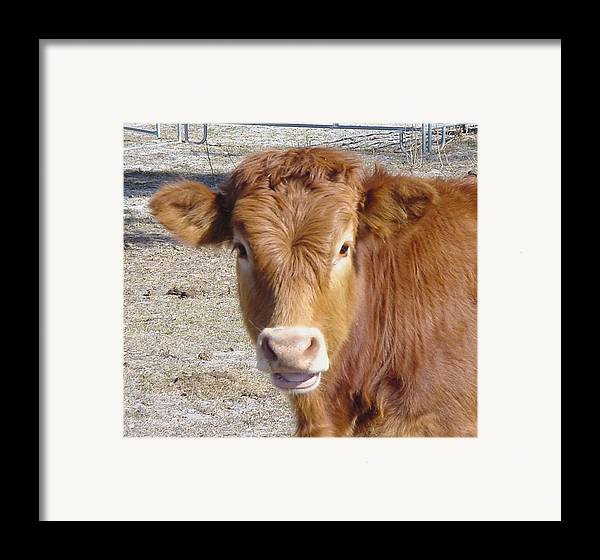 Farm Framed Print featuring the painting Calf Smiles by Debbie May