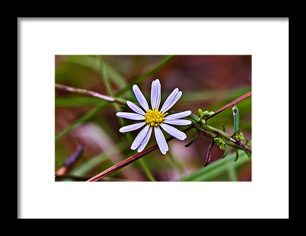Landscape Framed Print featuring the photograph Calico Aster by Michael Whitaker