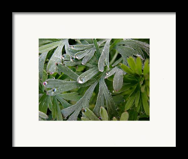 California Poppy Framed Print featuring the photograph California Poppy Leaves by PJ Cloud