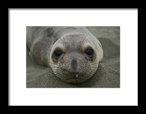 Sea Lion Framed Print featuring the photograph California Sea Lion by Hans Jankowski