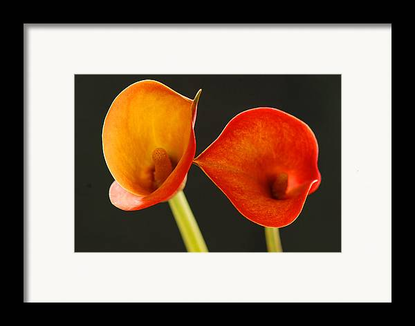Flower Framed Print featuring the photograph Calla Lily by Dennis Hammer
