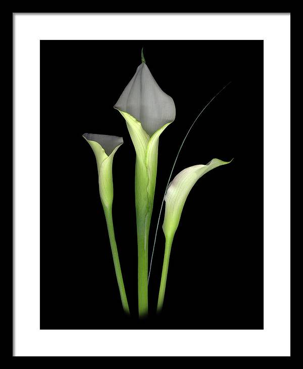 Calla Lilys Framed Print featuring the digital art Calla by Sandi F Hutchins