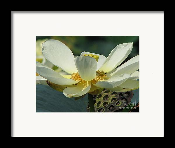 Lotus Framed Print featuring the photograph Calm by Amanda Barcon