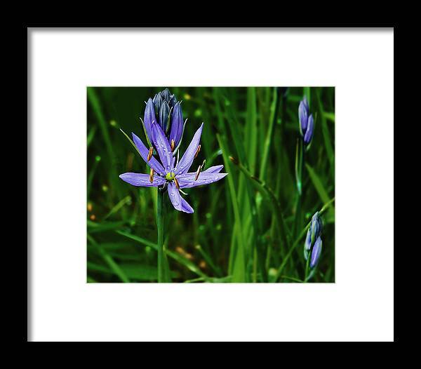 Camas Lily Framed Print featuring the photograph Camas Lily by John Christopher