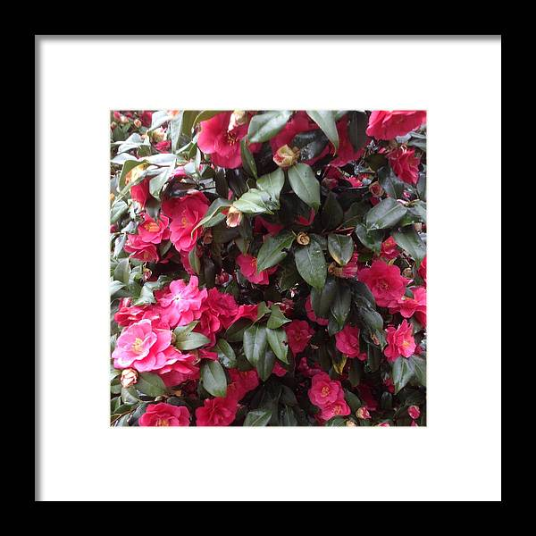 Flowers Framed Print featuring the photograph Camelia by Artemis Sdougkou