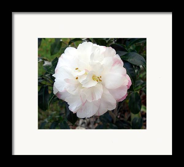 Camellia Framed Print featuring the photograph Camellia by Frederic Kohli