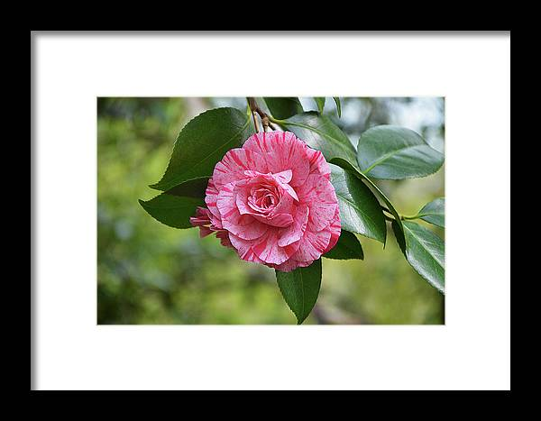 Isabela Cocoli Framed Print featuring the photograph Camellia Hybrid by Isabela and Skender Cocoli