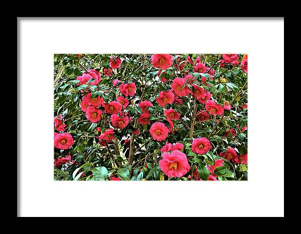 Isabela Cocoli Framed Print featuring the photograph Camellia by Isabela and Skender Cocoli