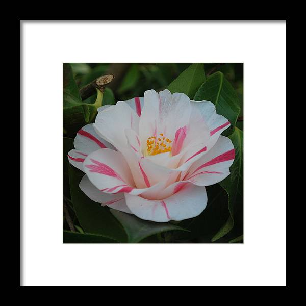 Camellia Framed Print featuring the photograph Camellia by Linda Sramek