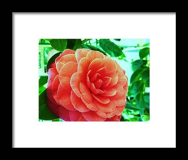 Bella ! Camellia. Framed Print featuring the photograph Camellia by Nereida Slesarchik Cedeno Wilcoxon