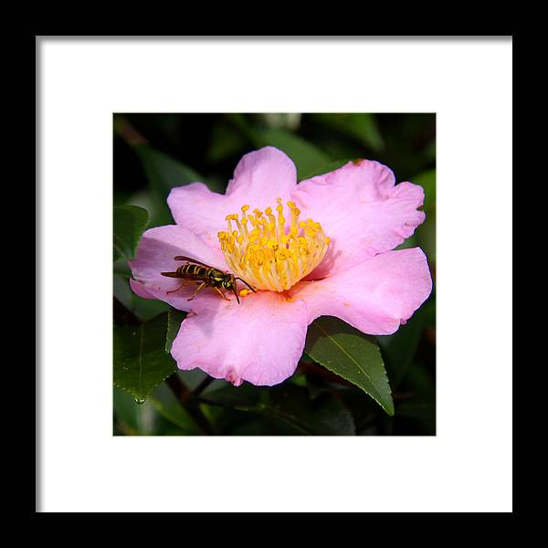 Floral Framed Print featuring the photograph Camilia Bee by Paul Anderson