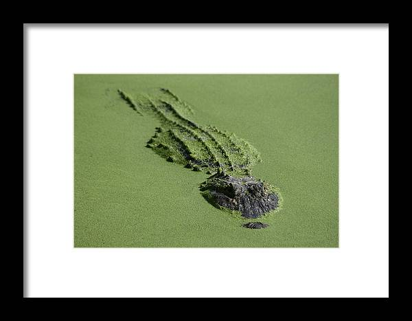 Aligator Framed Print featuring the photograph Camouflage by Hans Jankowski