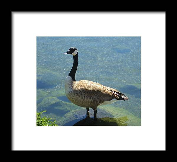 Canadian Goose Framed Print featuring the photograph Canadian Goose by Kathy Roncarati