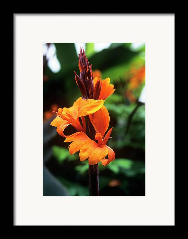 'roi Humbert' Framed Print featuring the photograph Canna Lily 'roi Humbert' by Adrian Thomas