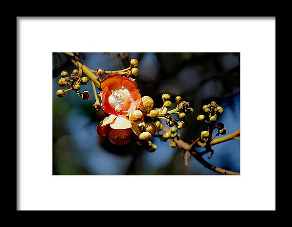 Cannoball Framed Print featuring the photograph Cannonball Flower by Sujith Gopinath