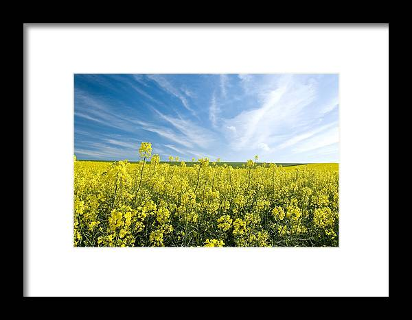 Canola Framed Print featuring the photograph Canola Field by Peter Chadwick