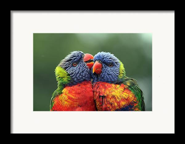 Rainbow Lorikeets Framed Print featuring the photograph Canoodling In The Rain by Lesley Smitheringale