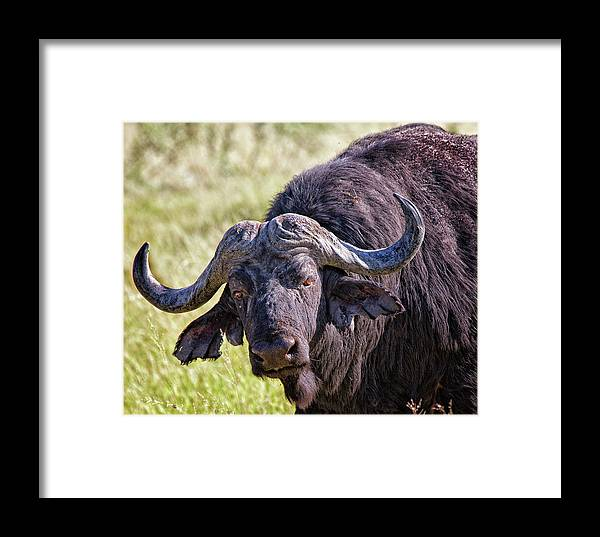Buffalo Framed Print featuring the photograph Cape Buffalo by Murdoch Campbell