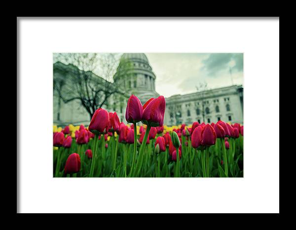 Tulips Framed Print featuring the photograph Capitol Tulips by Rockland Filmworks