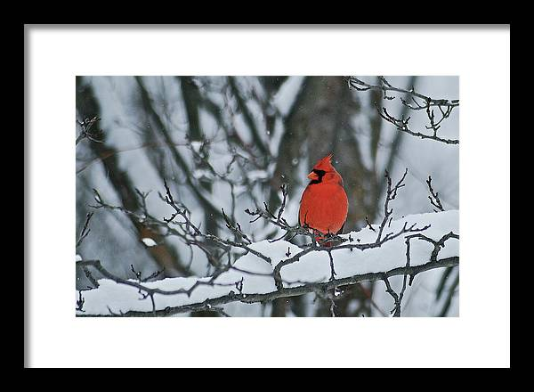 Cardinal and snow by Michael Peychich