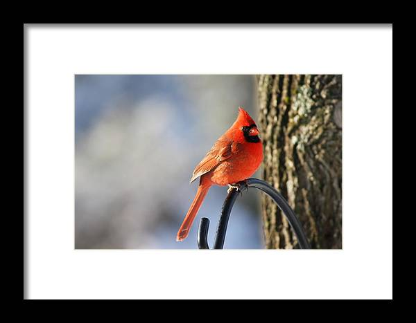 Red Framed Print featuring the photograph Cardinal by Danielle Gareau