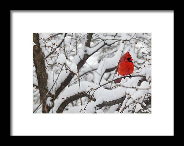 Snow Framed Print featuring the photograph Cardinal In The Snow 3 by Robert Ullmann