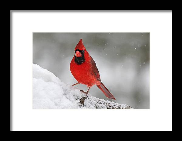 Red Framed Print featuring the photograph Cardinal In Winter by Sue Feldberg