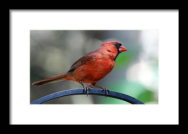 Nature Framed Print featuring the photograph Cardinal Profile by David Rosenthal